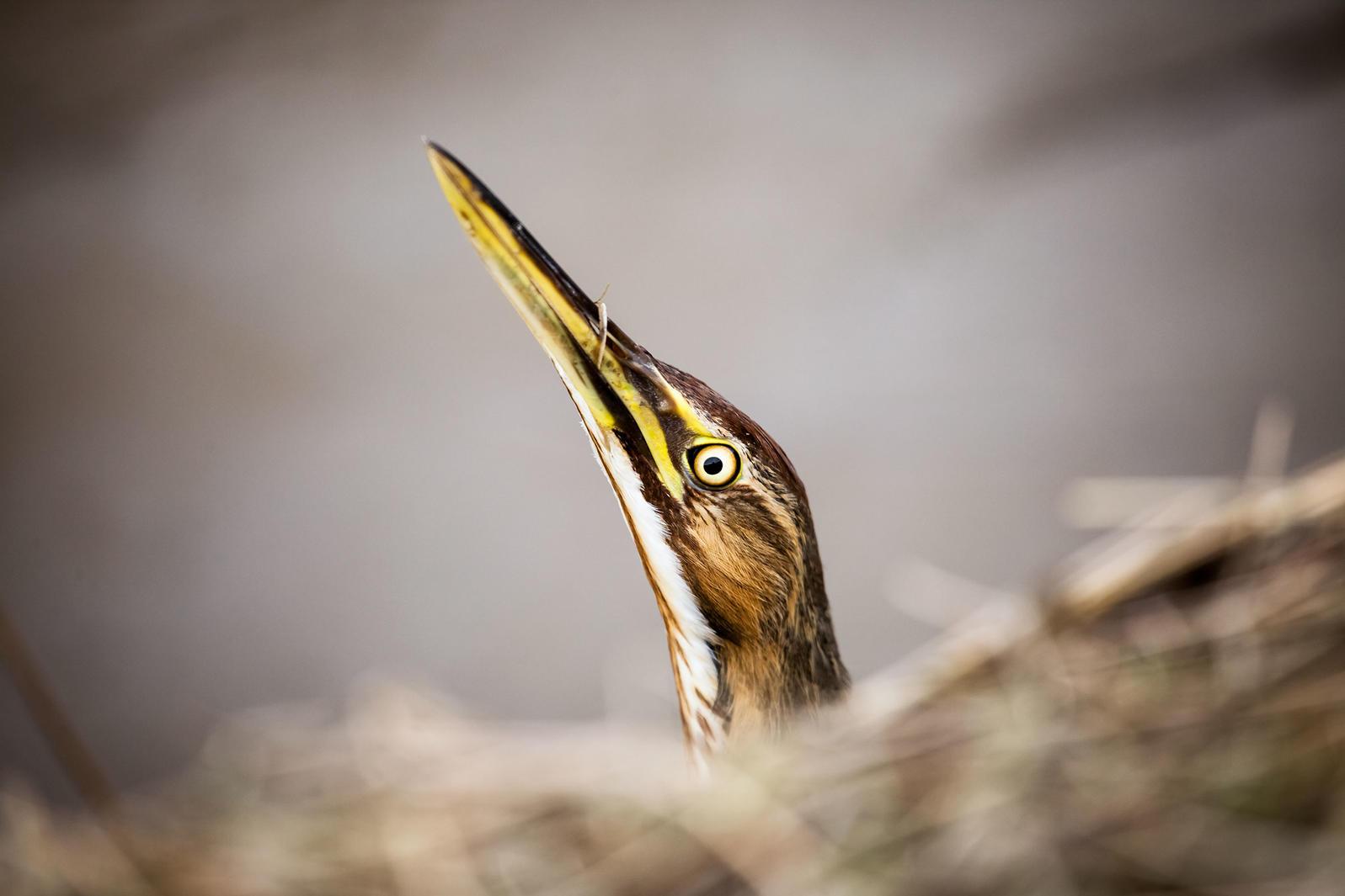 American Bittern. Jennifer Warner/Audubon Photography Awards