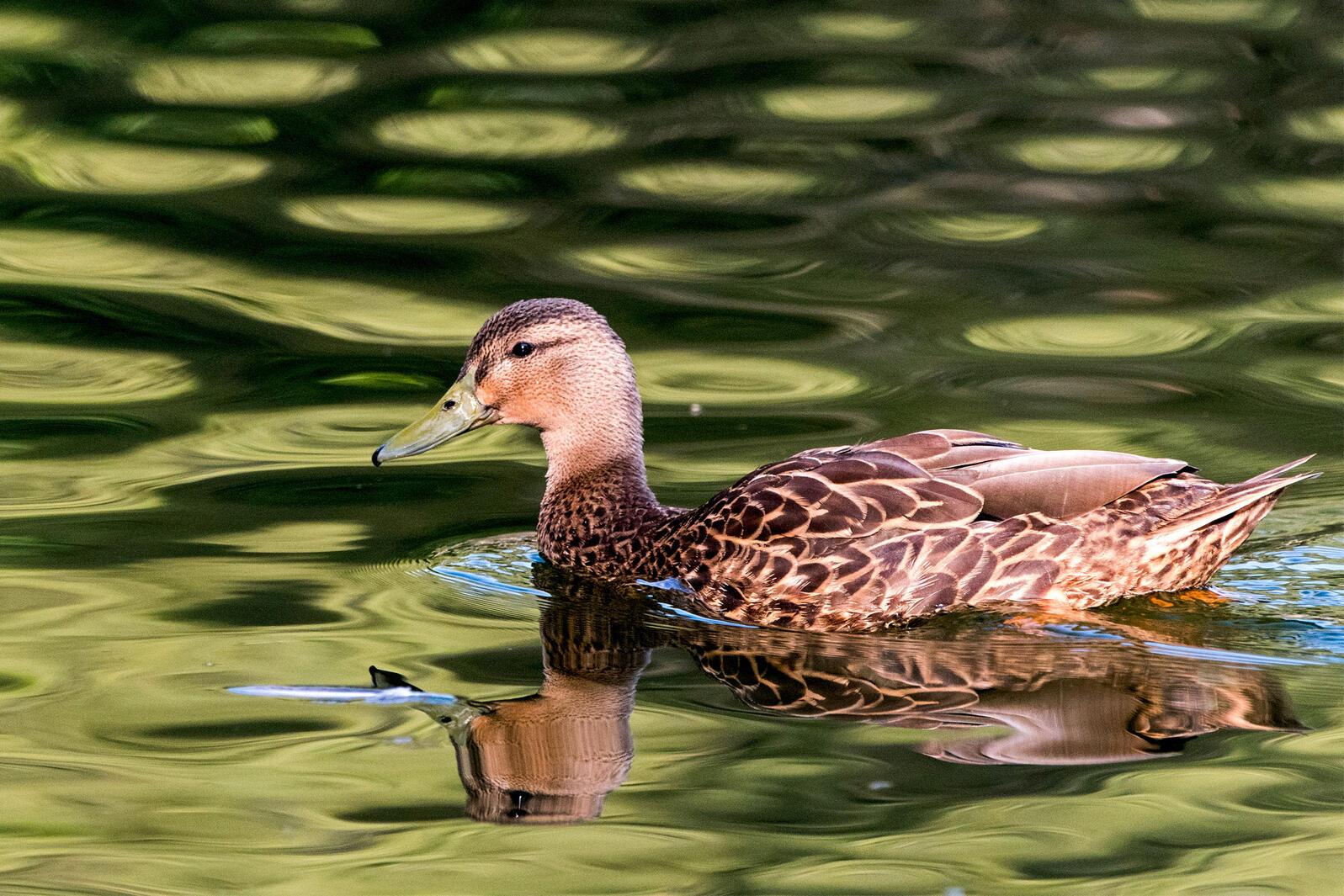 Mexican Duck. Ramon Fregoso/Alamy