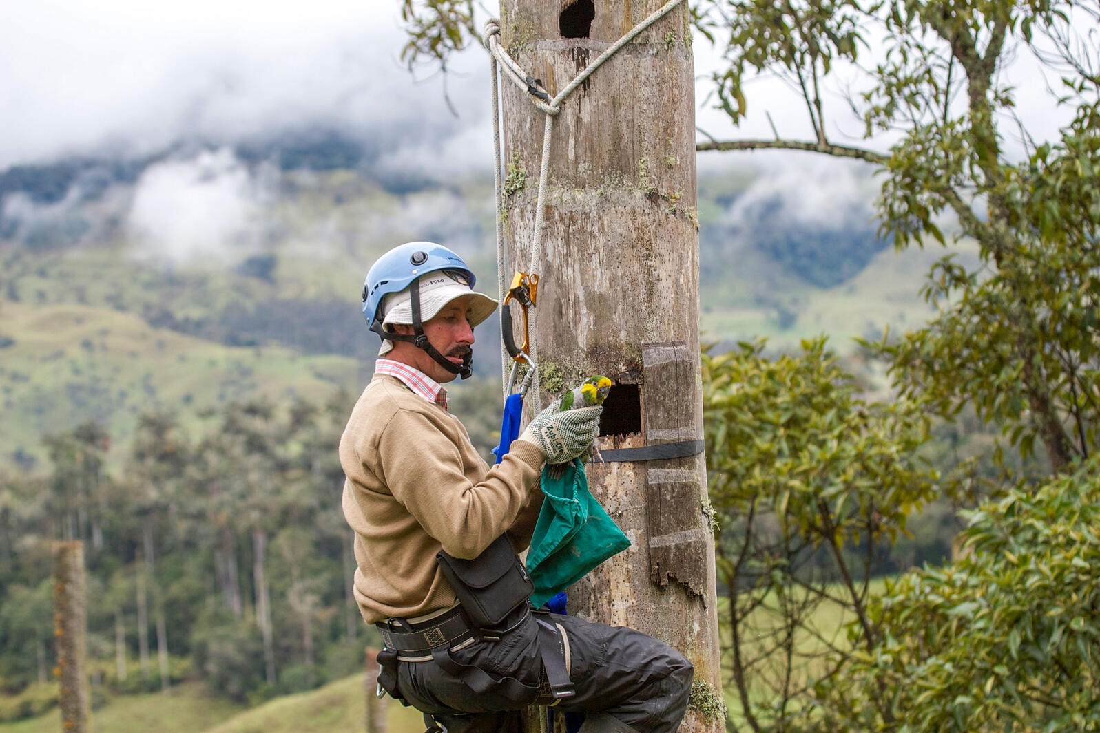Cardona in 2008 checking on Yellow-eared Parrot nestlings in the cavity of a Quindío wax palm. Benjamin Freeman