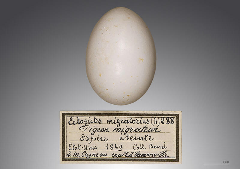 The egg of a Passenger Pigeon found in 1849 in the United States. The bird is now extinct. Credit: Didier Descouens/Museum of Toulouse