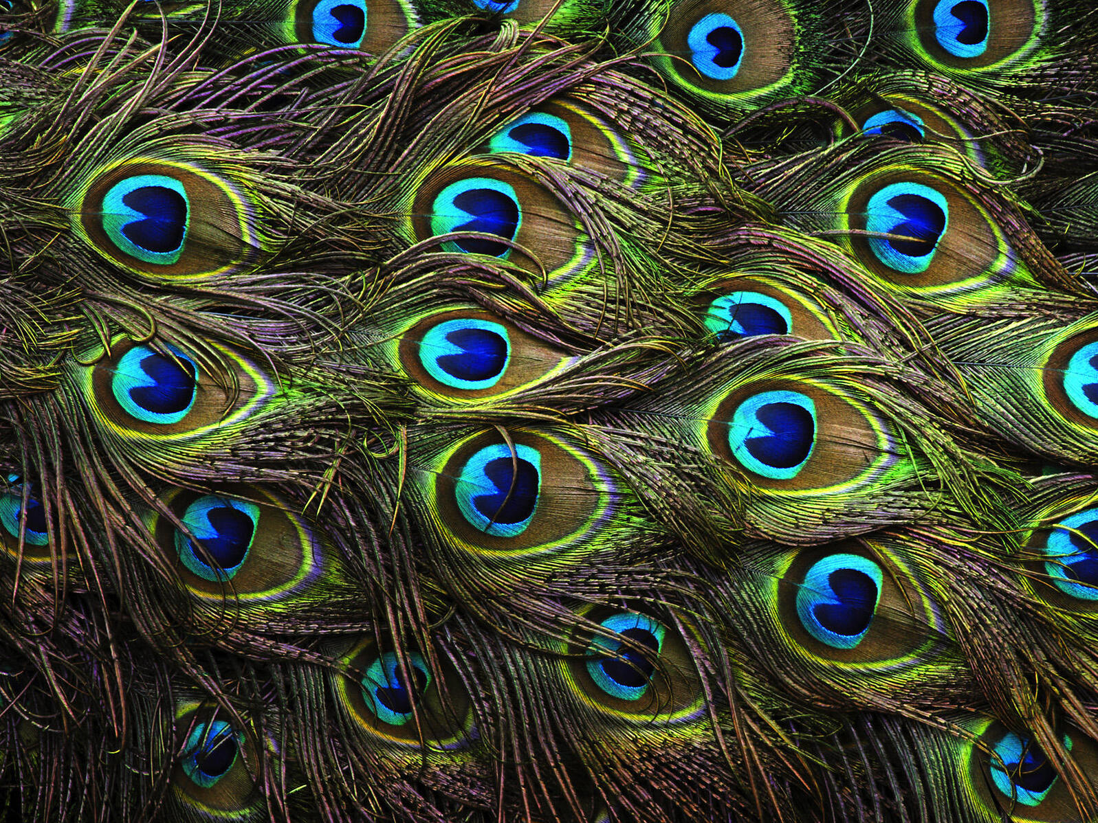 A peacock's train can grow up to 5 feet long and weigh half a pound during the height of mating season. It contains about 200 feathers, which are shed after the bird finishes breeding for the year. Credit: Rose Mendoza/Flickr Creative Commons