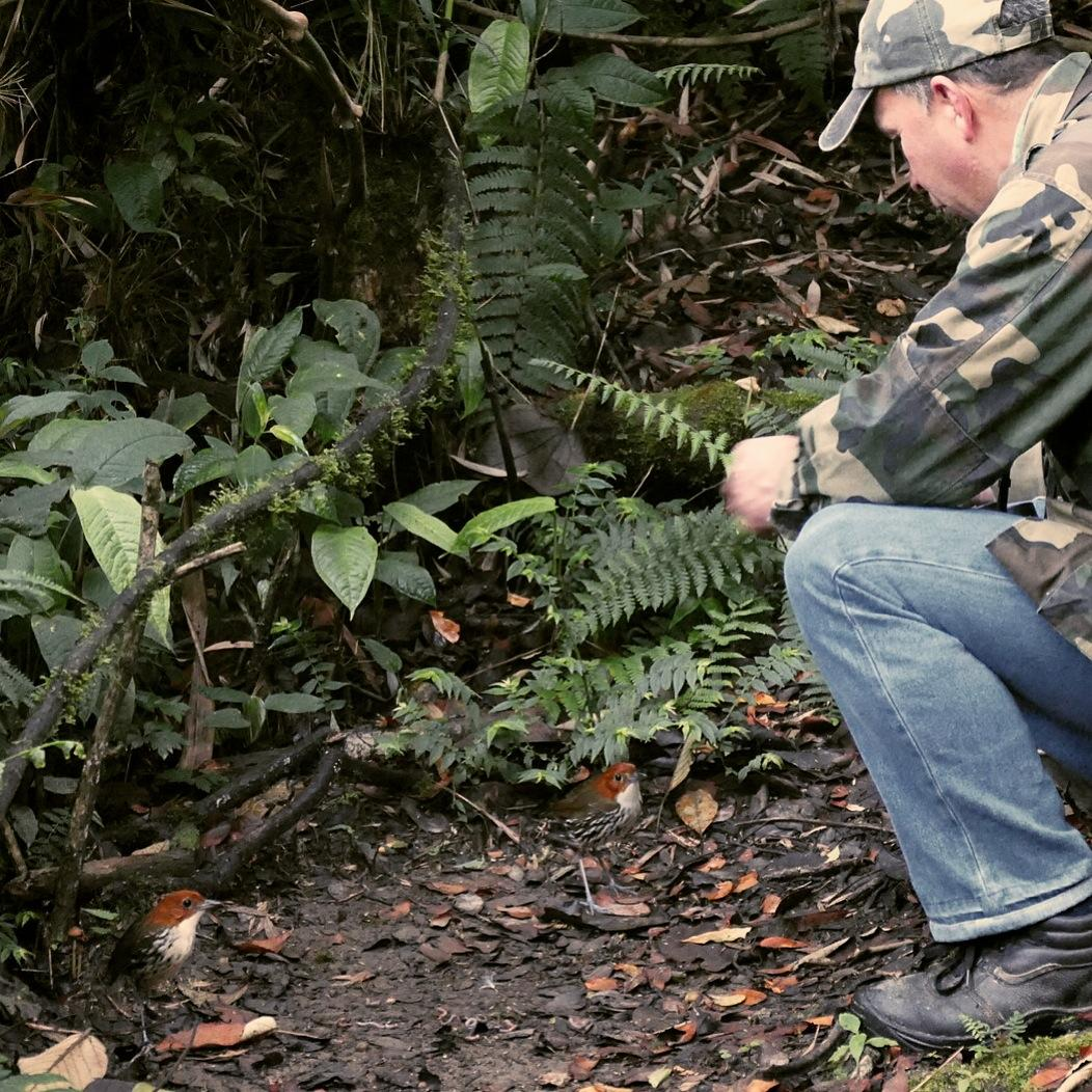 Albeiro Uribe feeds worms to a pair of Chestnut-crowned Antpittas (can you spot them in the lower left corner?). Noah Strycker