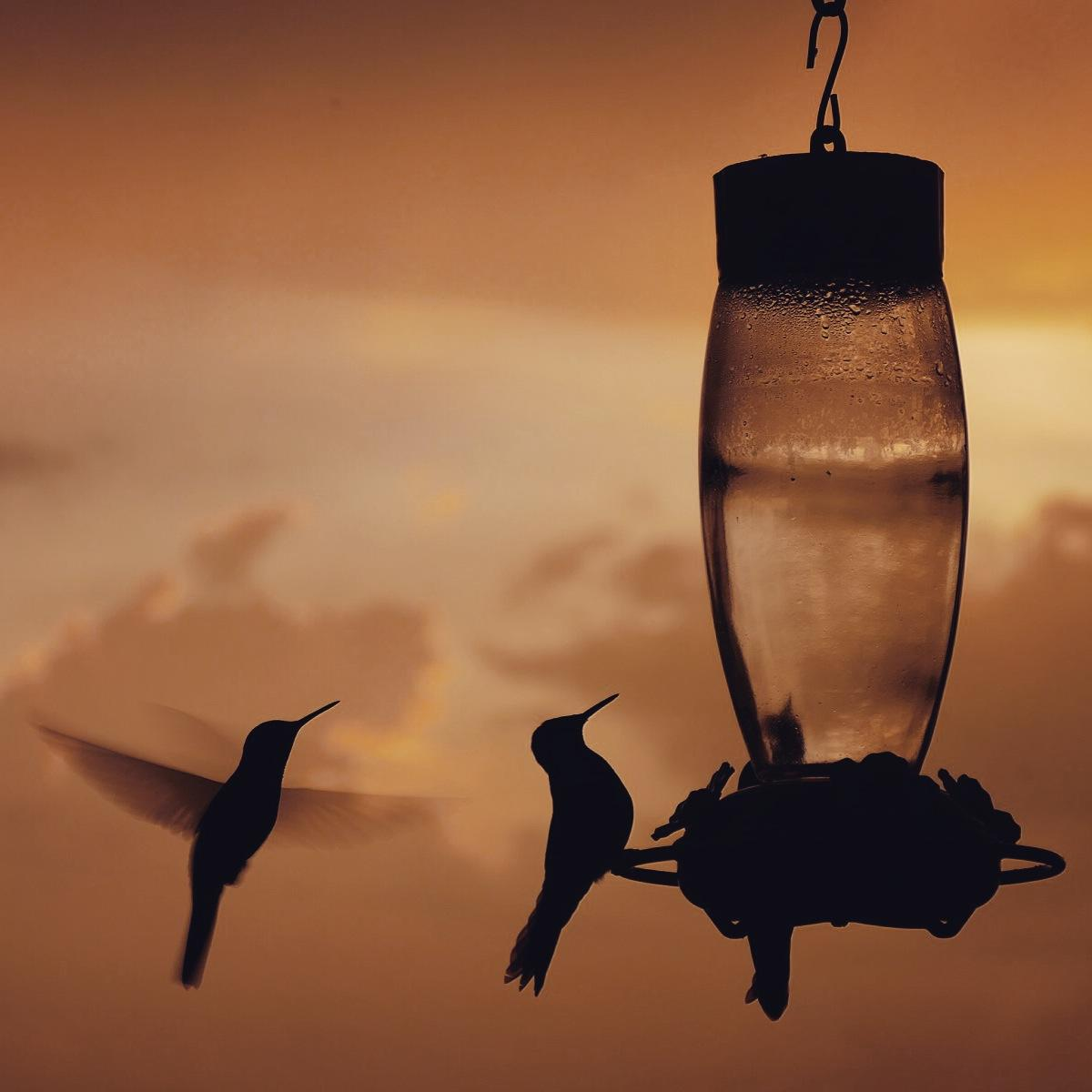 Hummingbirds get a last sip of the day at Rio Blanco's feeders after sunset. Noah Strycker