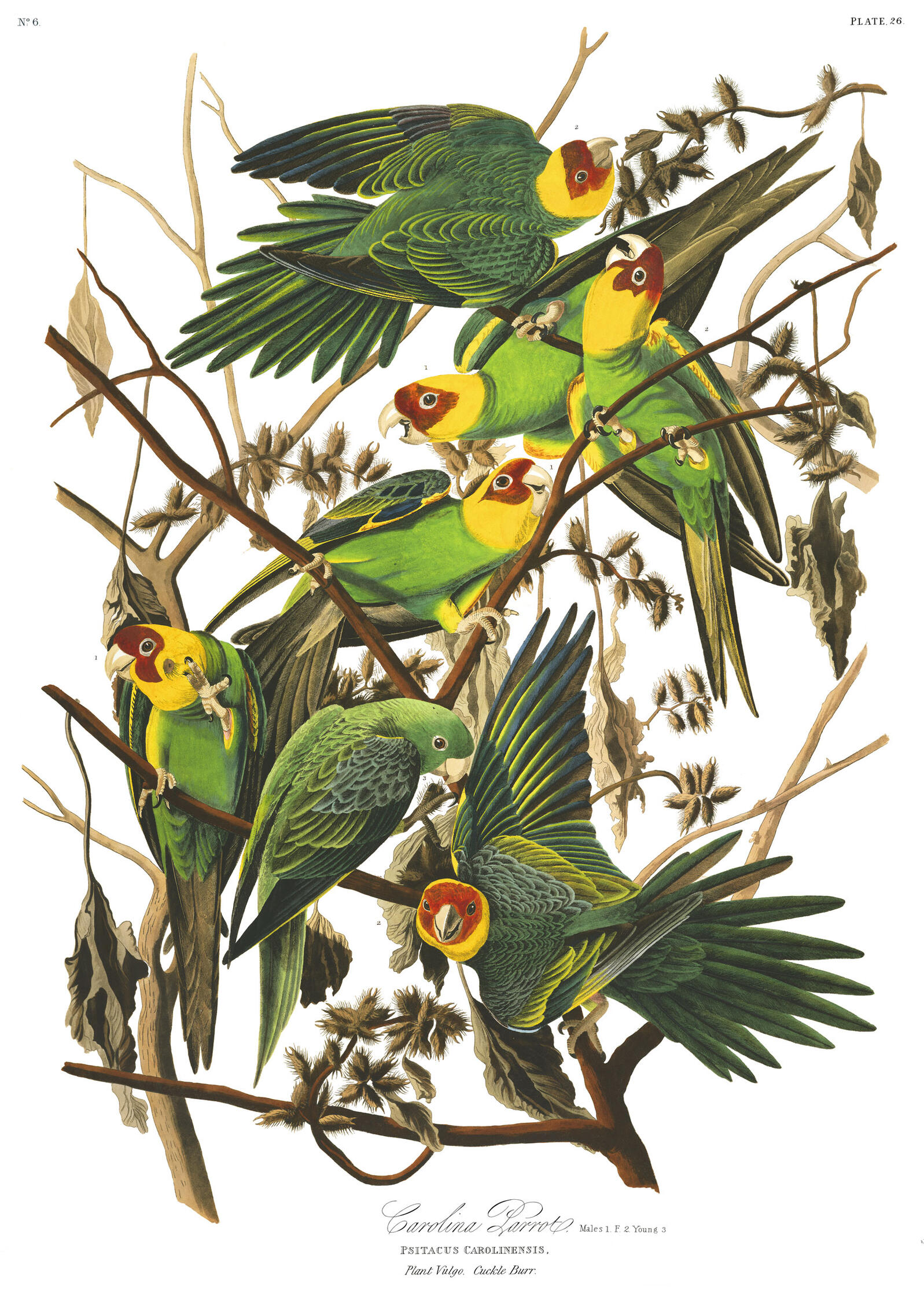 Carolina Parakeets were the only native parrot species in the U.S. But by the early 1900s, the vibrant birds were no more. Illustration: John James Audubon