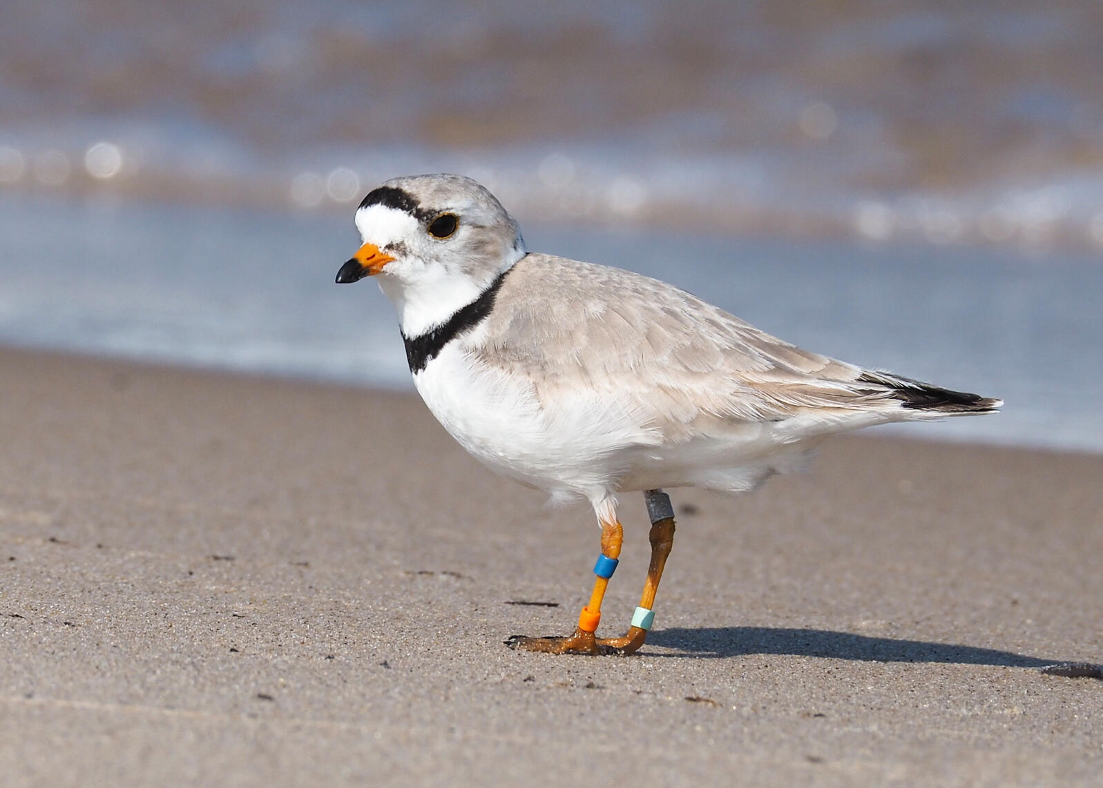 """At 15 years old, Old Man Plover """"tends to be relatively relaxed"""" when people are nearby, biologist Alice Van Zoeren says. He's also known as BO:X,g for his combination of colorful bands, including the metal USGS one on his right leg. Alice Van Zoeren"""