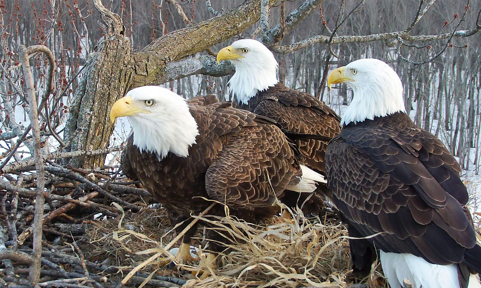 Starr, Valor II, and Valor I (left to right) sit on their nest in Illinois. Their chicks are lucky to have so much parental care! Stewards of the Upper Mississippi River Refuge