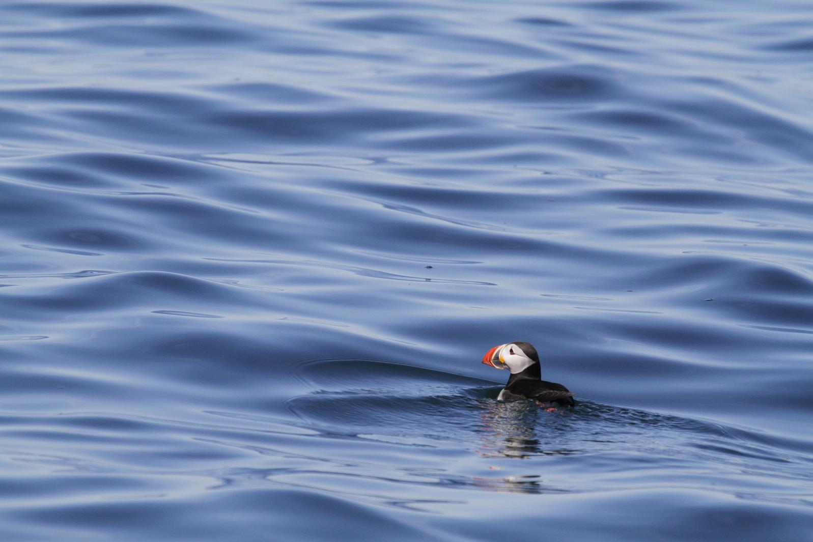 Atlantic Puffin on deep ocean waters. Stephen W. Kress