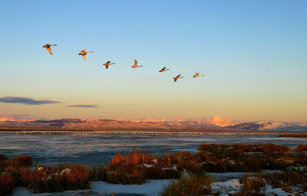 Trumpeter Swans in Red Rock Lakes National Wildlife Refuge, Montana. Erin Clark/USFWS