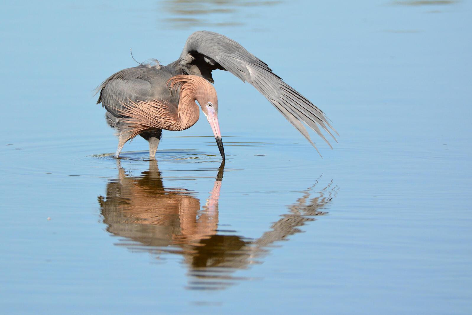 Reddish Egret foraging on the Florida coast. Shane Conklin/Great Backyard Bird Count