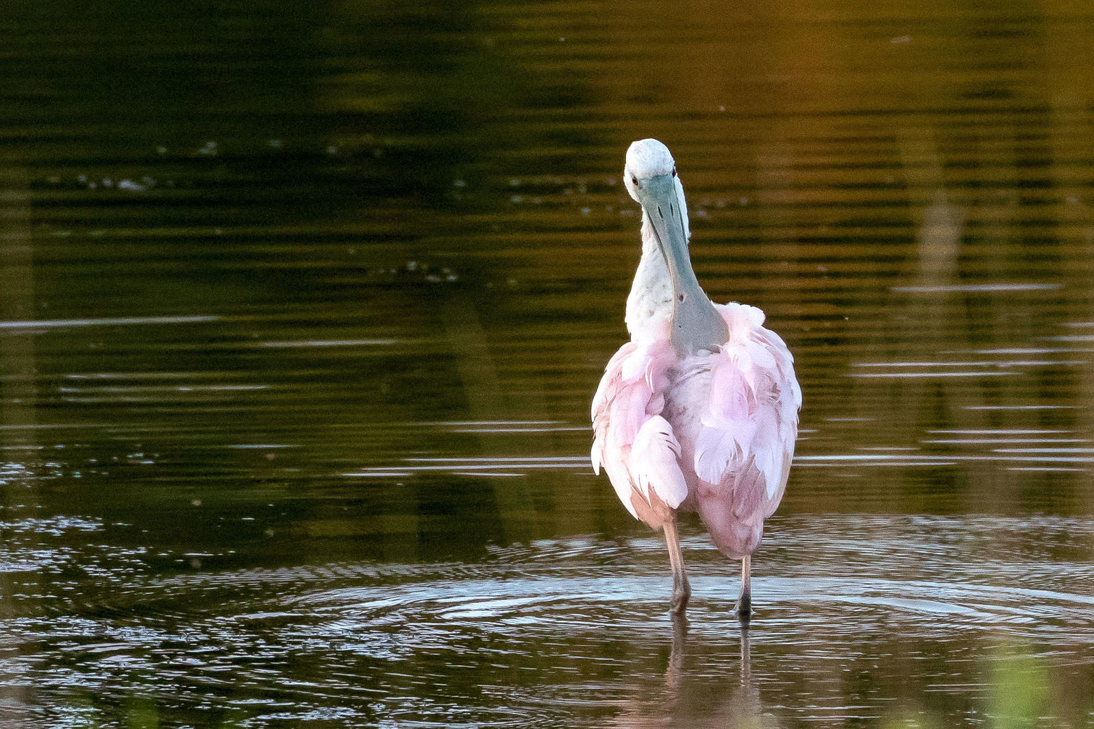 The Roseate Spoonbill spotted in central Maine earlier this month was the first record for the state. Experts from Maine Audubon believe it might be the same bird that later turned up in Connecticut, due to an odd dent in its bill. Louis Bevier
