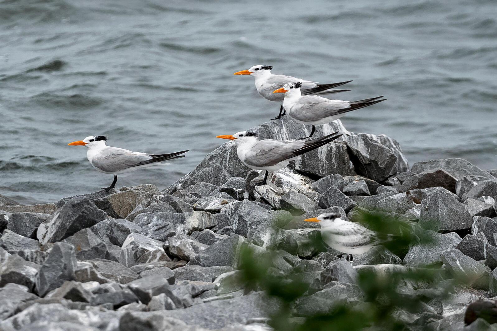 Royal Terns on South Island, Virginia. Matthew Fossum