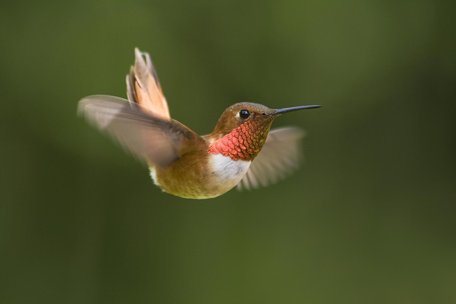 Rufous Hummingbirds Turning Up in Unusual Places | Audubon