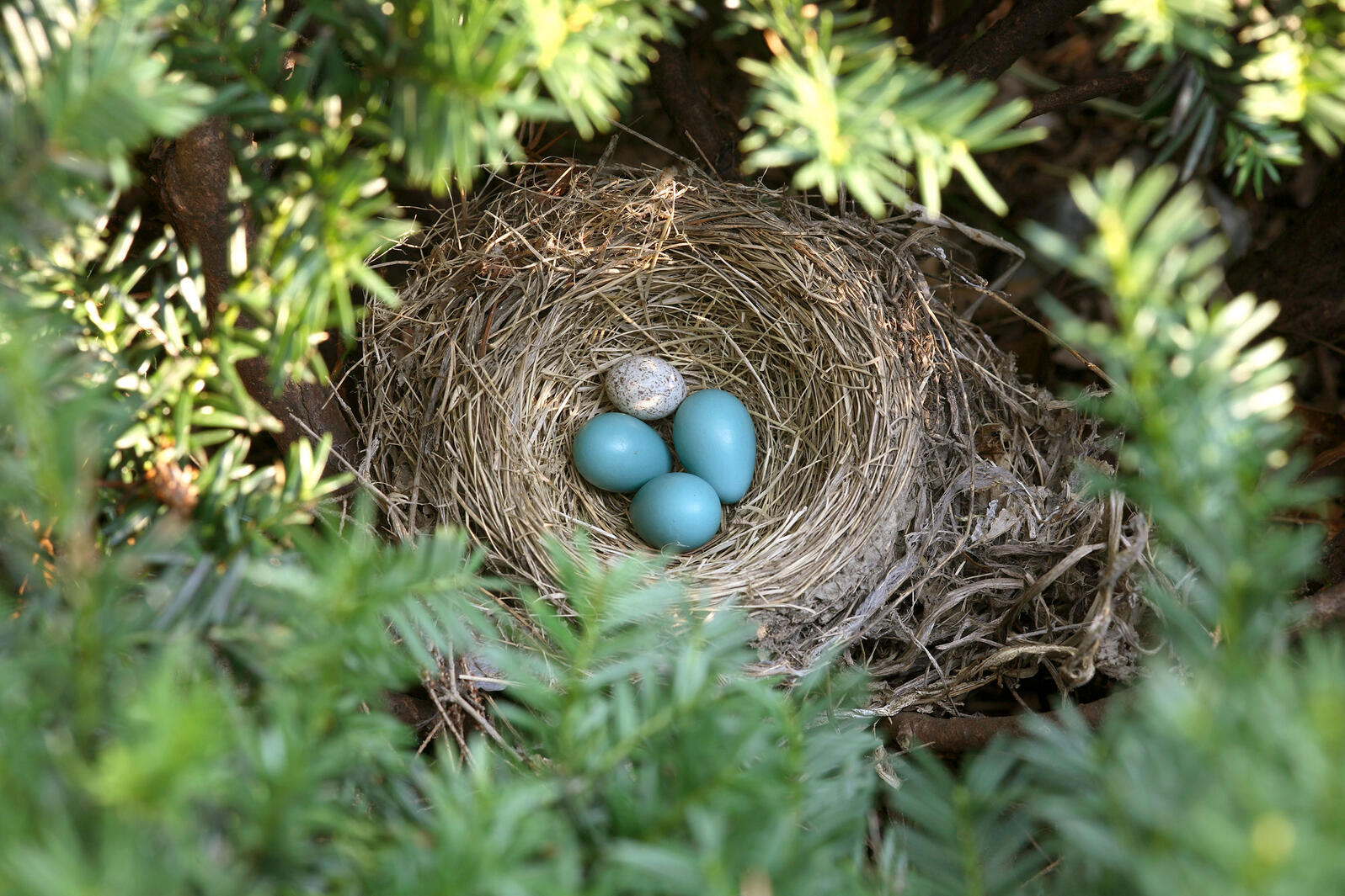 This American Robin nest has been infiltrated: Among its blue eggs sits a white Brown-headed Cowbird egg. Ted Kinsman/Science Source