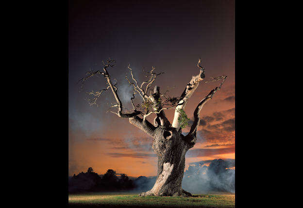 English oak at Blenheim Palace, in England. Simon Norfolk