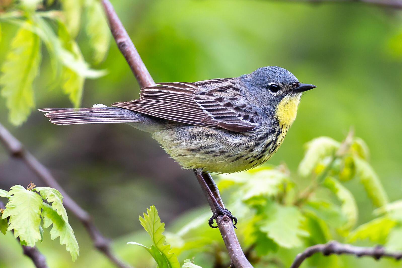 The Central Park Kirtland's Warbler was first spotted on May 11. By May 14, it had seemingly left town—but not before hundreds of birders got to check it out. Bruno Oliveira
