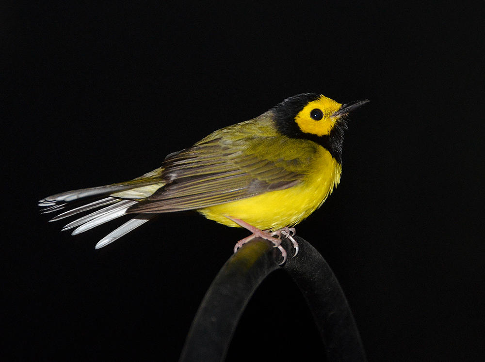 Night portrait of a Hooded Warbler. Amy White & Al Petteway/National Geographic Creative