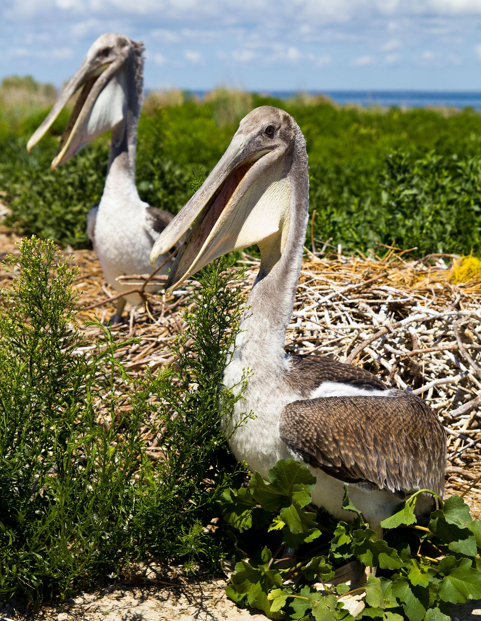 Two Brown Pelicans nesting on the Outer Banks. Jackie Orsulak/USFWS