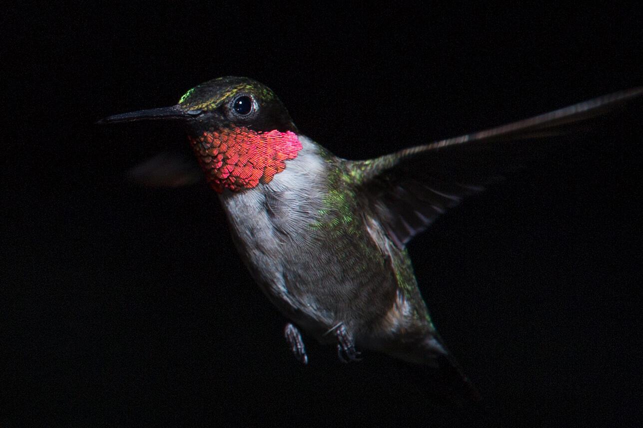 Ruby-throated-Hummingbird. David Illig