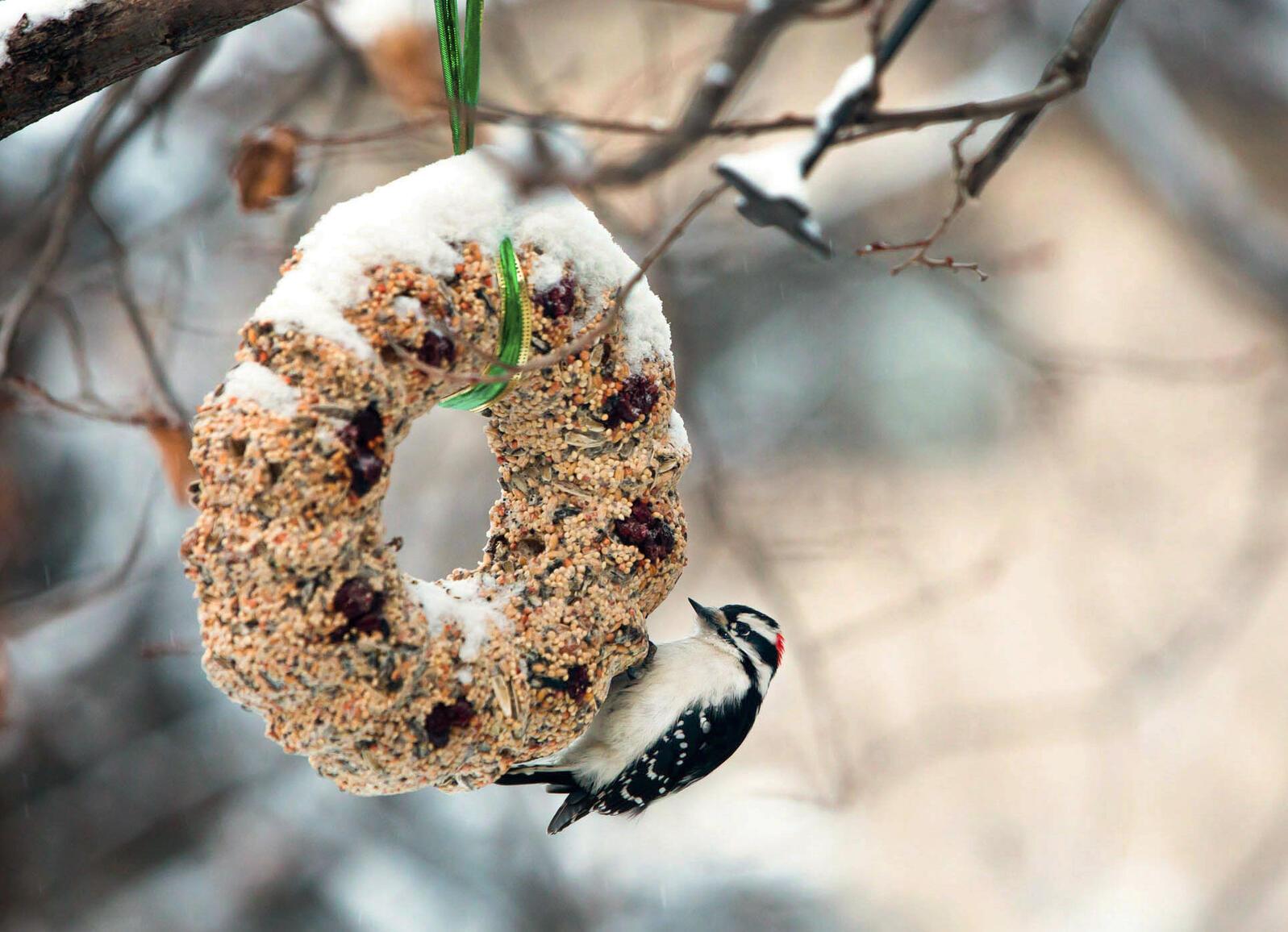 Downy Woodpecker. Evilrobotsmash/Flickr (CC BY-NC-SA 2.0)