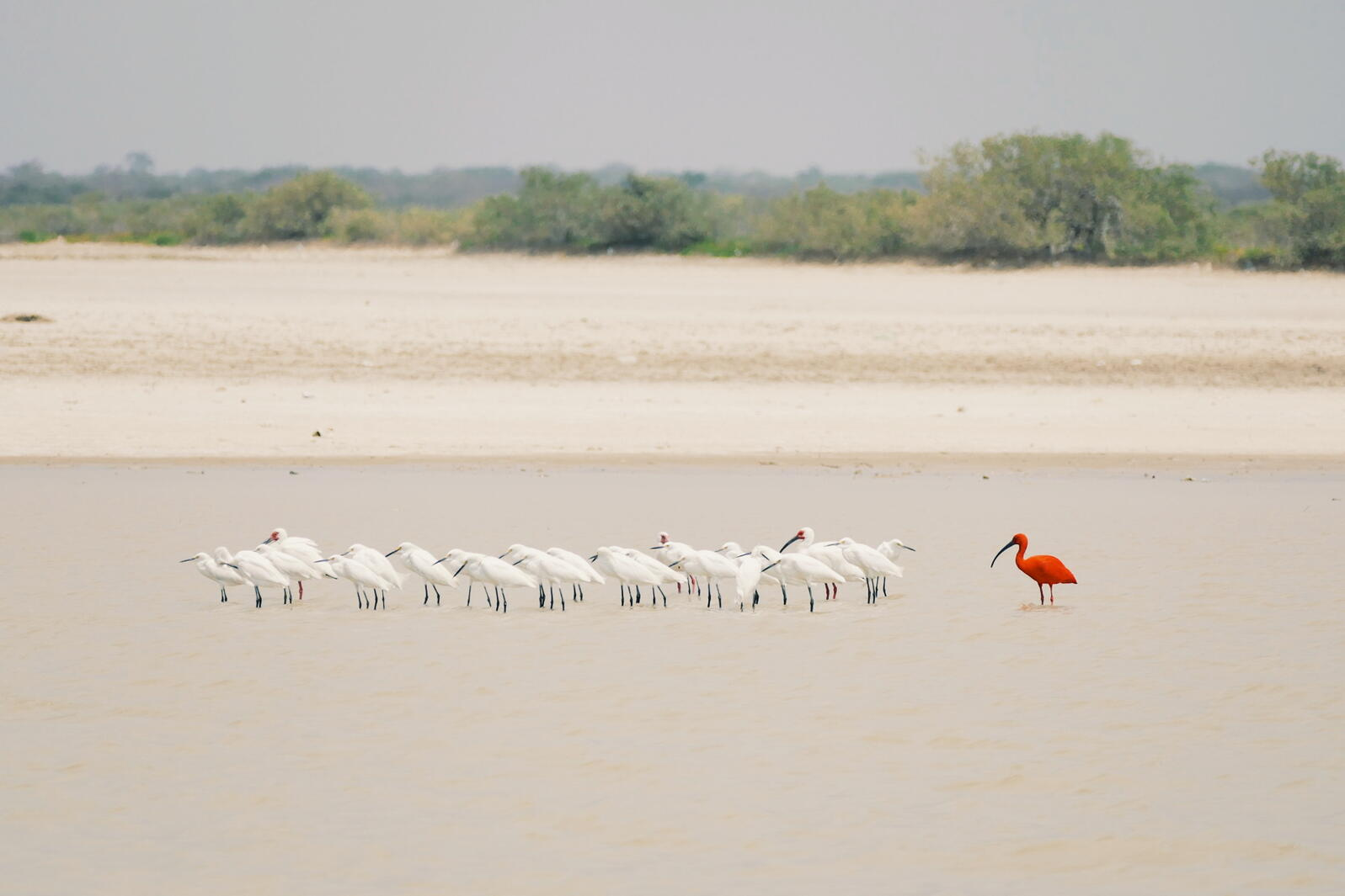 A Scarlet Ibis stands out from the crowd of Snowy Egrets and White Ibis at Los Flamencos Sanctuary, Colombia. Noah Strycker