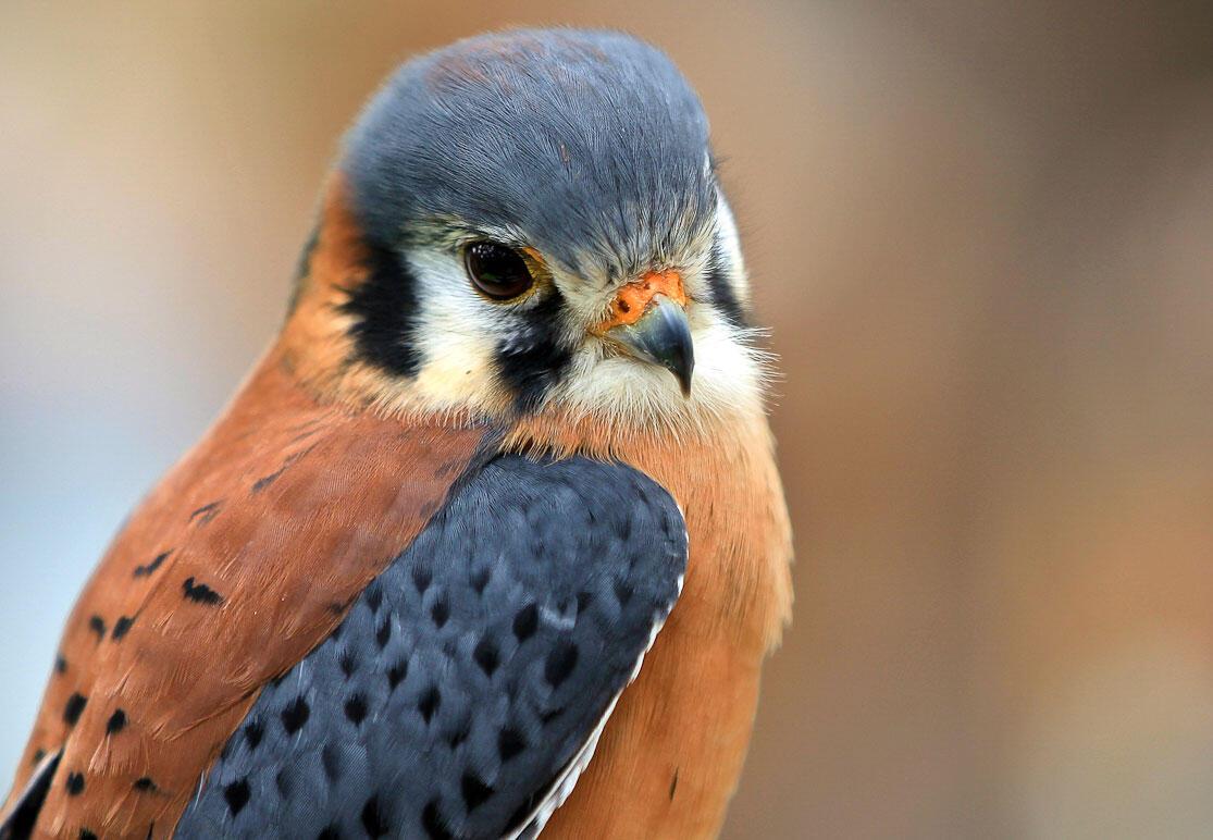 American Kestrel. Kristen Mauzy/Audubon Photography Awards