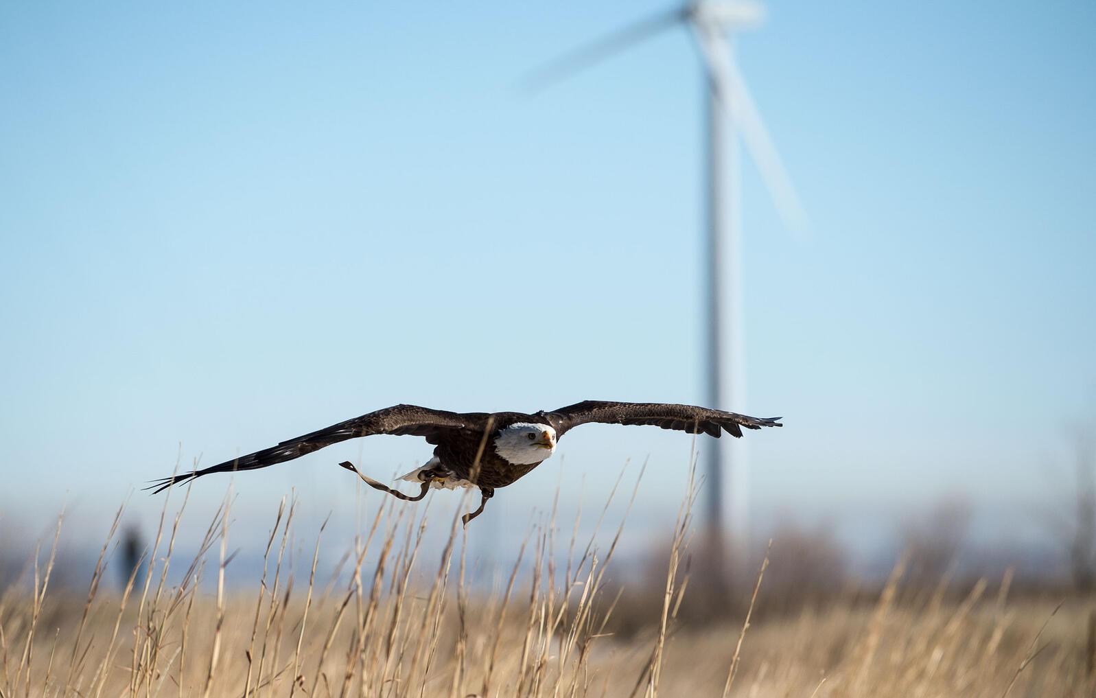 "Spirit, a 20-year-old Bald Eagle at the National Wind Technology Center in Boulder, Colorado. <a href=""https://www.flickr.com/photos/nrel/24332498813/in/album-72157664341321922/"">Dennis Schroeder/NREL</a>/Flickr CC (BY-NC-ND 2.0)"