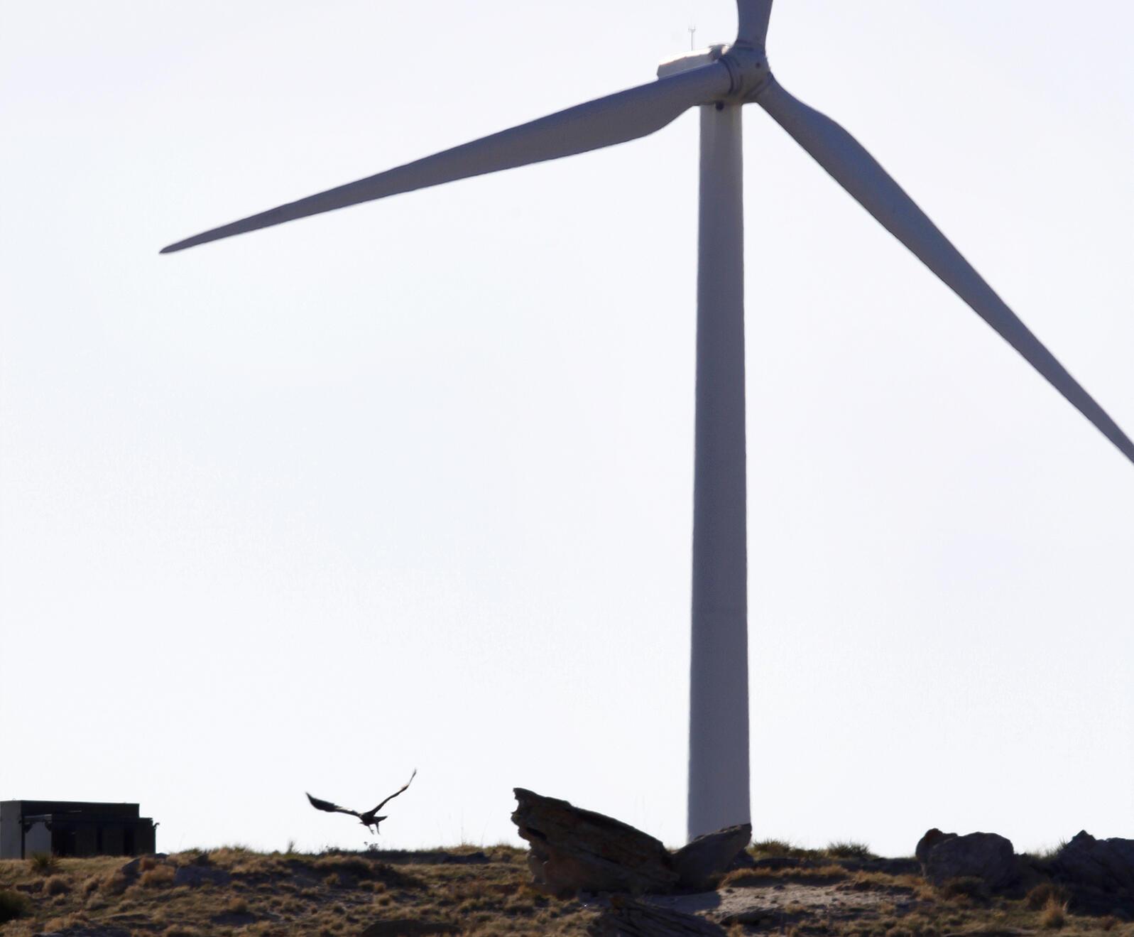 A golden eagle flies near a wind turbine in Wyoming. Matt Young/AP