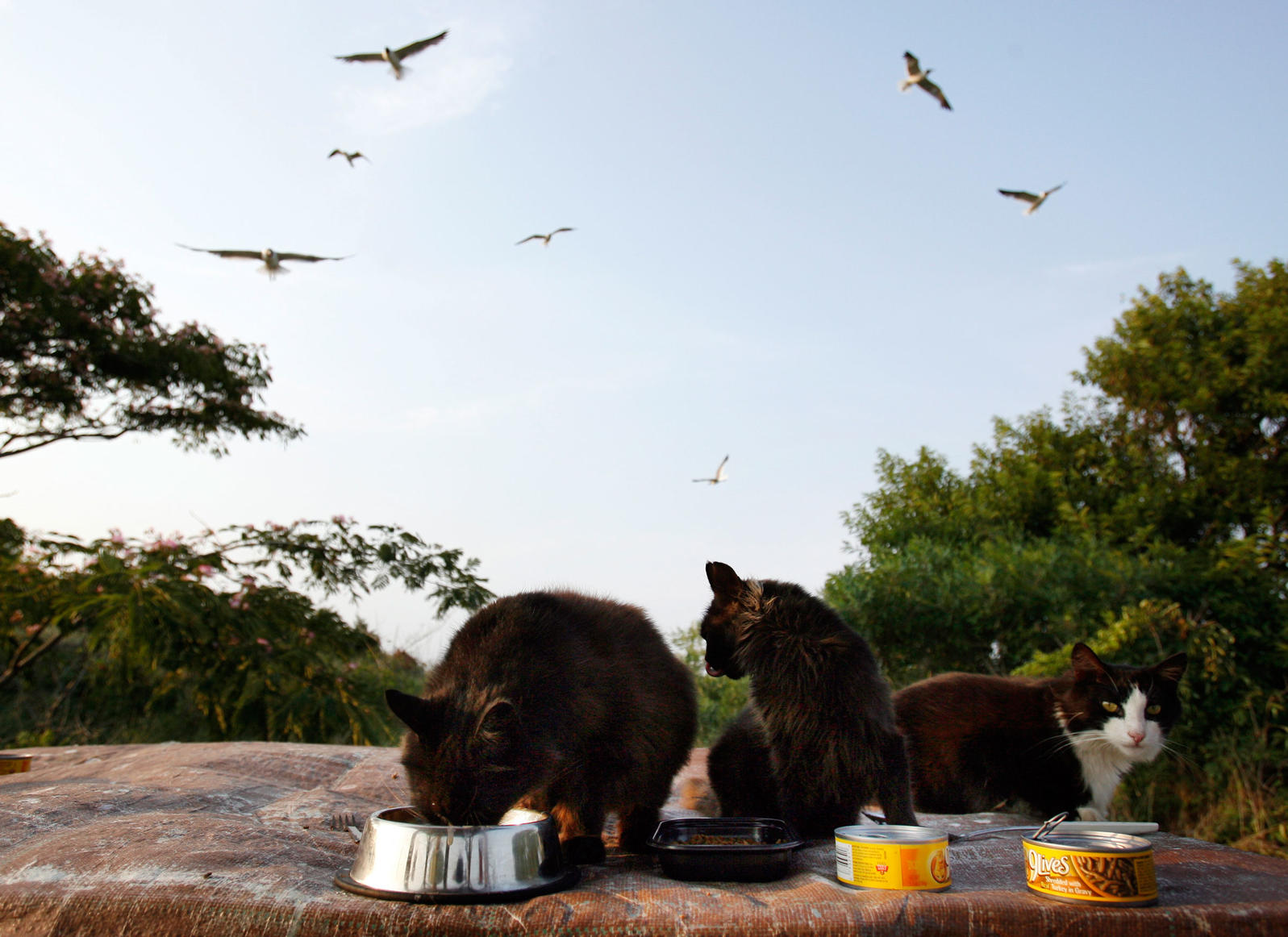 At Douglas Memorial Park in Cape May, N.J., feral cats eat food put out for them by volunteers. The cats eat Piping Plovers, which are a threatened and protected species in the area. David Gard/AP