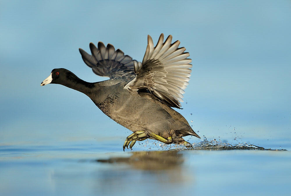 American Coot. Alan Murphy/Audubon Photography Awards