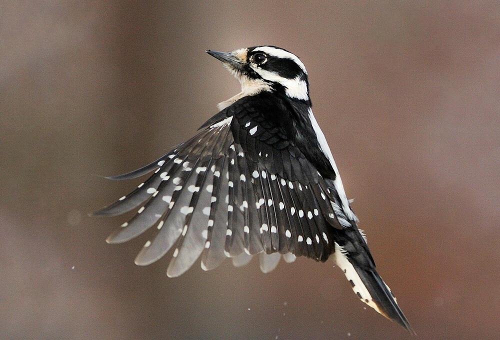 Downy Woodpecker. Mike Anderson/Audubon Photograpy Awards