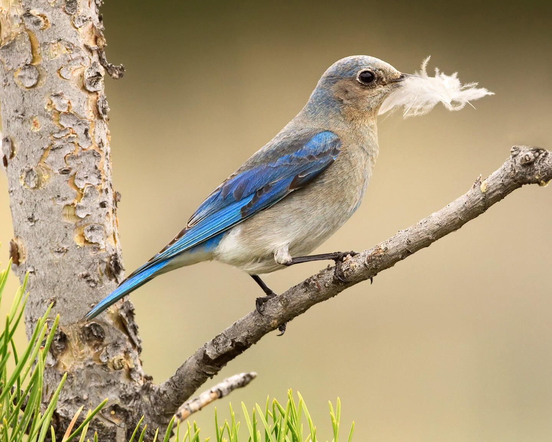 Mountain Bluebird. Jim Chagares/Audubon Photography Awards