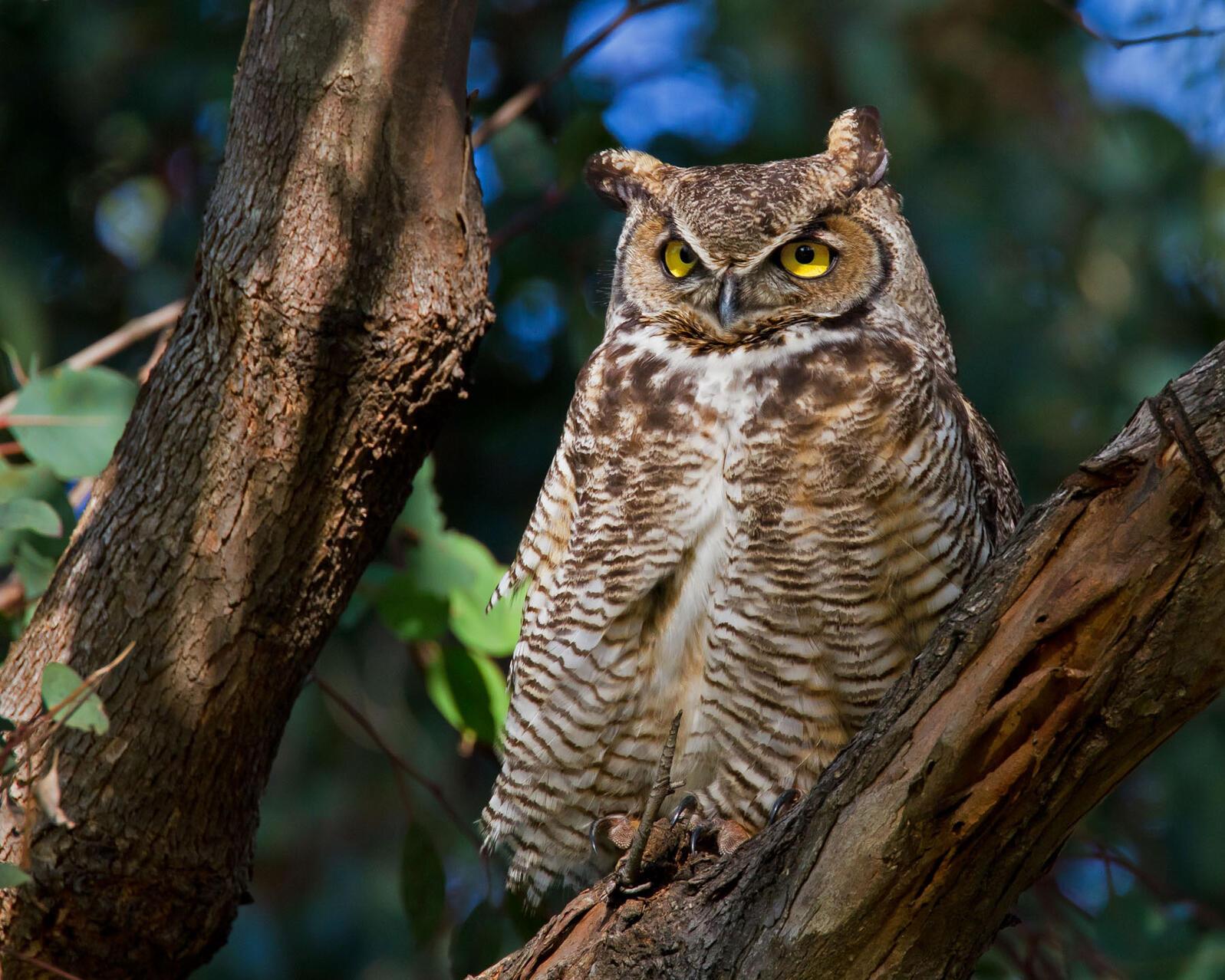 Great Horned Owl. Christopher Schwarz/Audubon Photography Awards