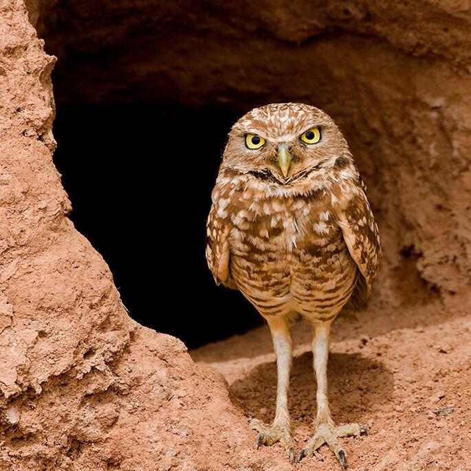 Burrowing Owl. Stan Keiser/Audubon Photography Awards