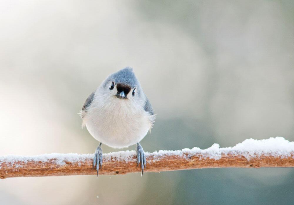 Tufted Titmouse. Catherine McEntee/Audubon Photography Awards