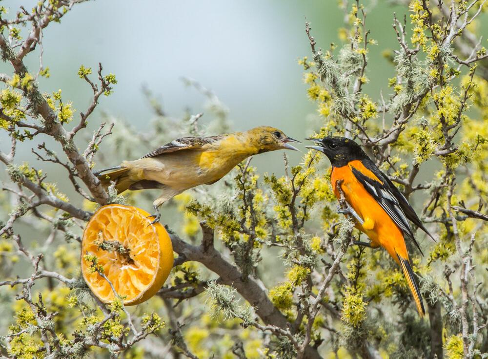 Baltimore Oriole. Joanne Wuori/Audubon Photography Awards