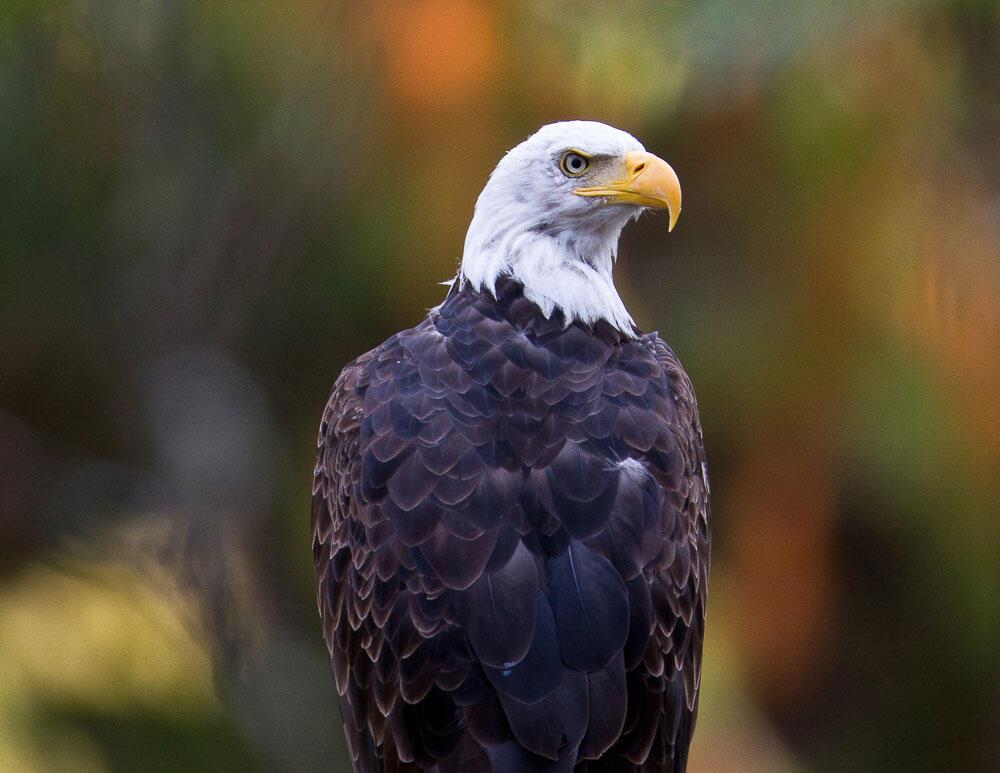 Bald Eagle. Terri Shaddick/Audubon Photography Awards