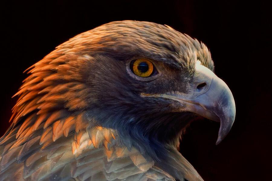 Golden Eagle. Scott Macdiarmid/Audubon Photography Awards