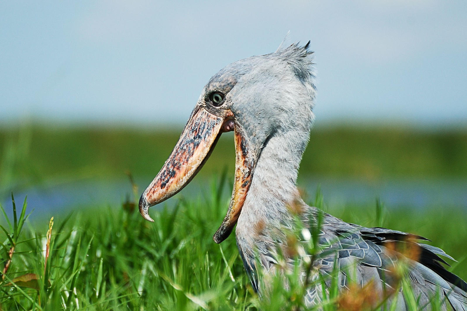 The Shoebill: Or, the Most Terrifying Bird in the World | Audubon