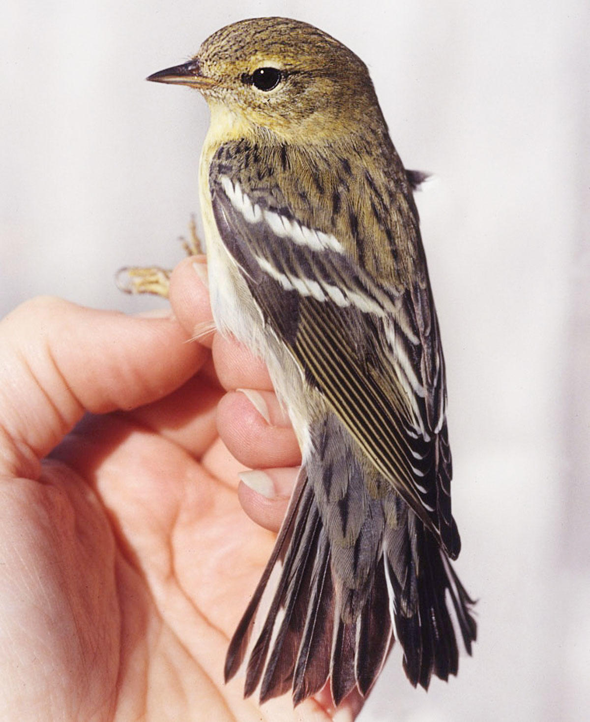 A Blackpoll Warbler in fall plumage, held by a researcher. Sara Morris