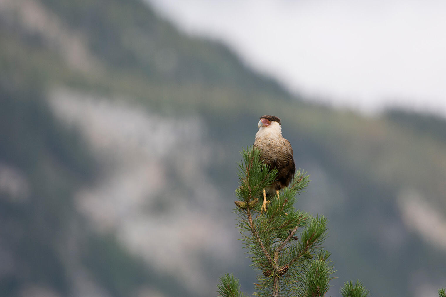 Crested Caracara spotted in a pine tree in Jasper National Park, Alberta. Dale Wilde