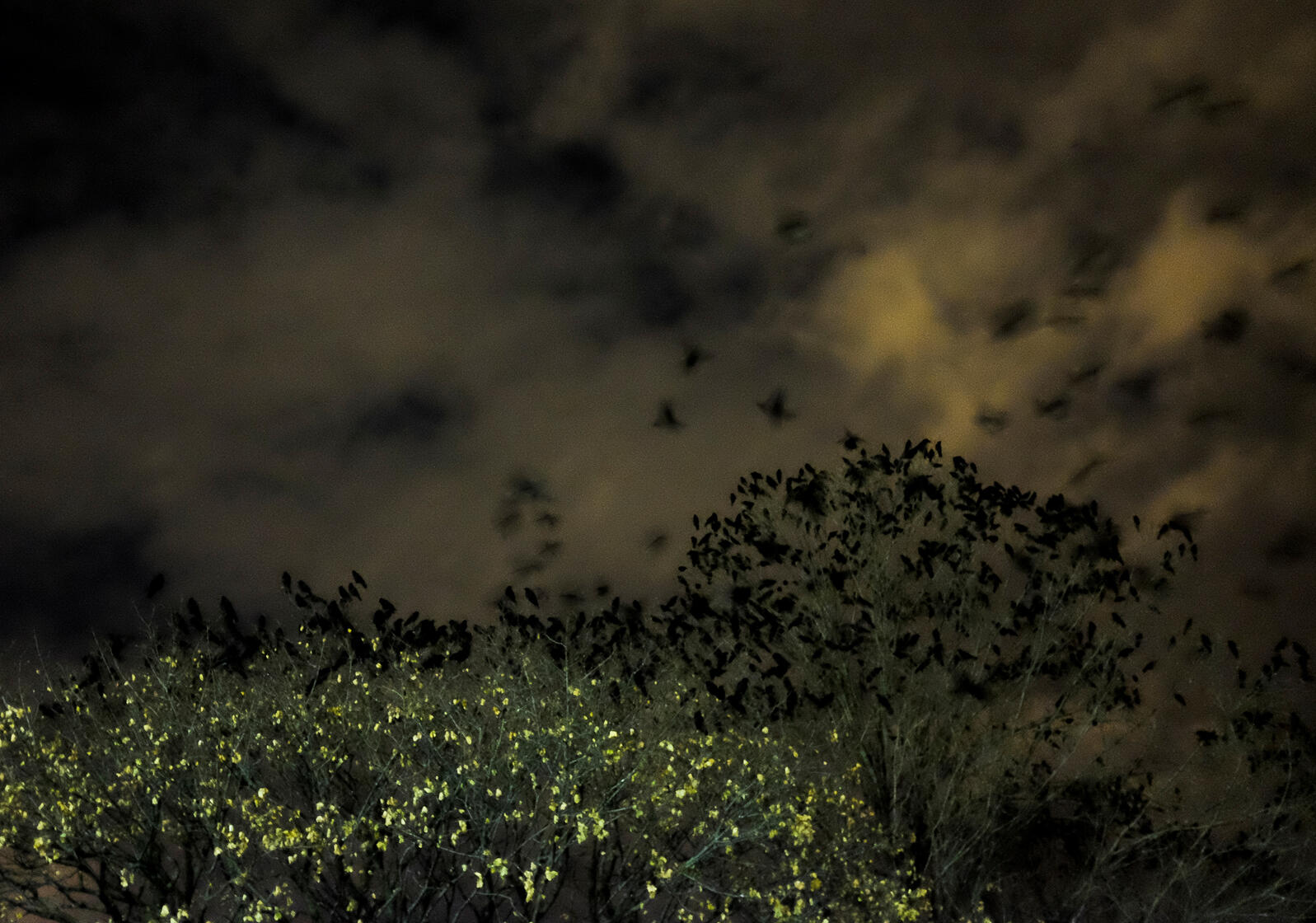 Crow roost in Springfield, Massachusetts. Greg Saulmon