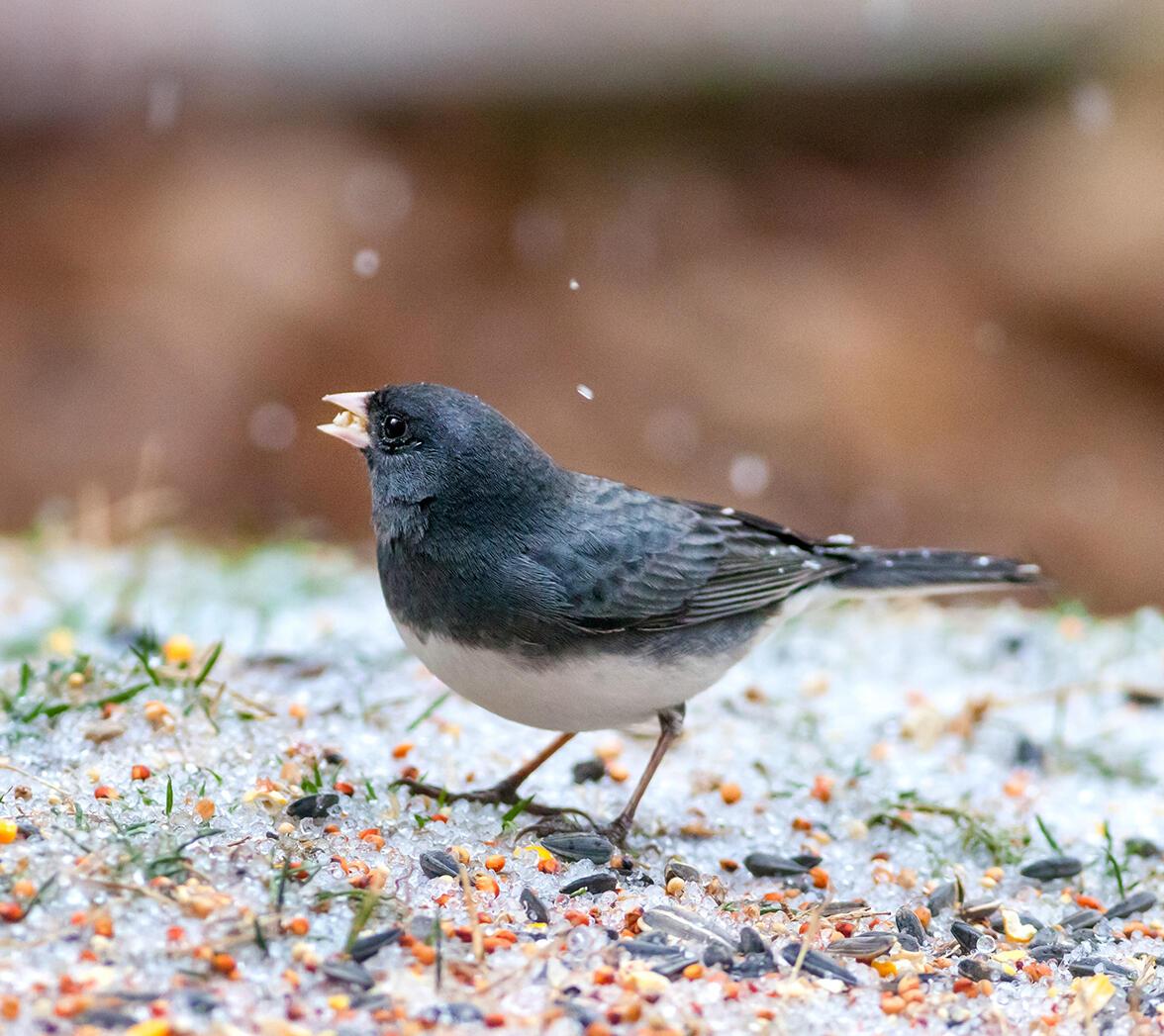 Junco Ojioscuro. Melinda Fawver/Gran Conteo de Aves en el Jardín
