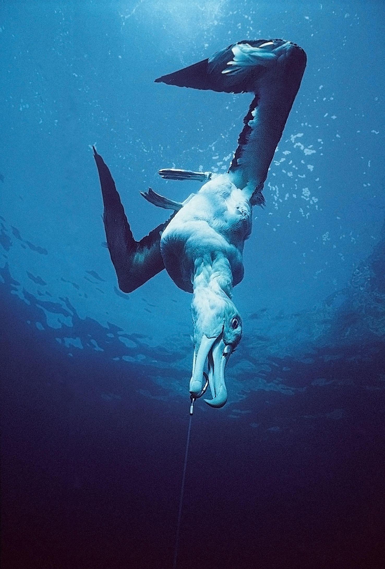 Un albatros atrapado en un palangre utilizado para la pesca.