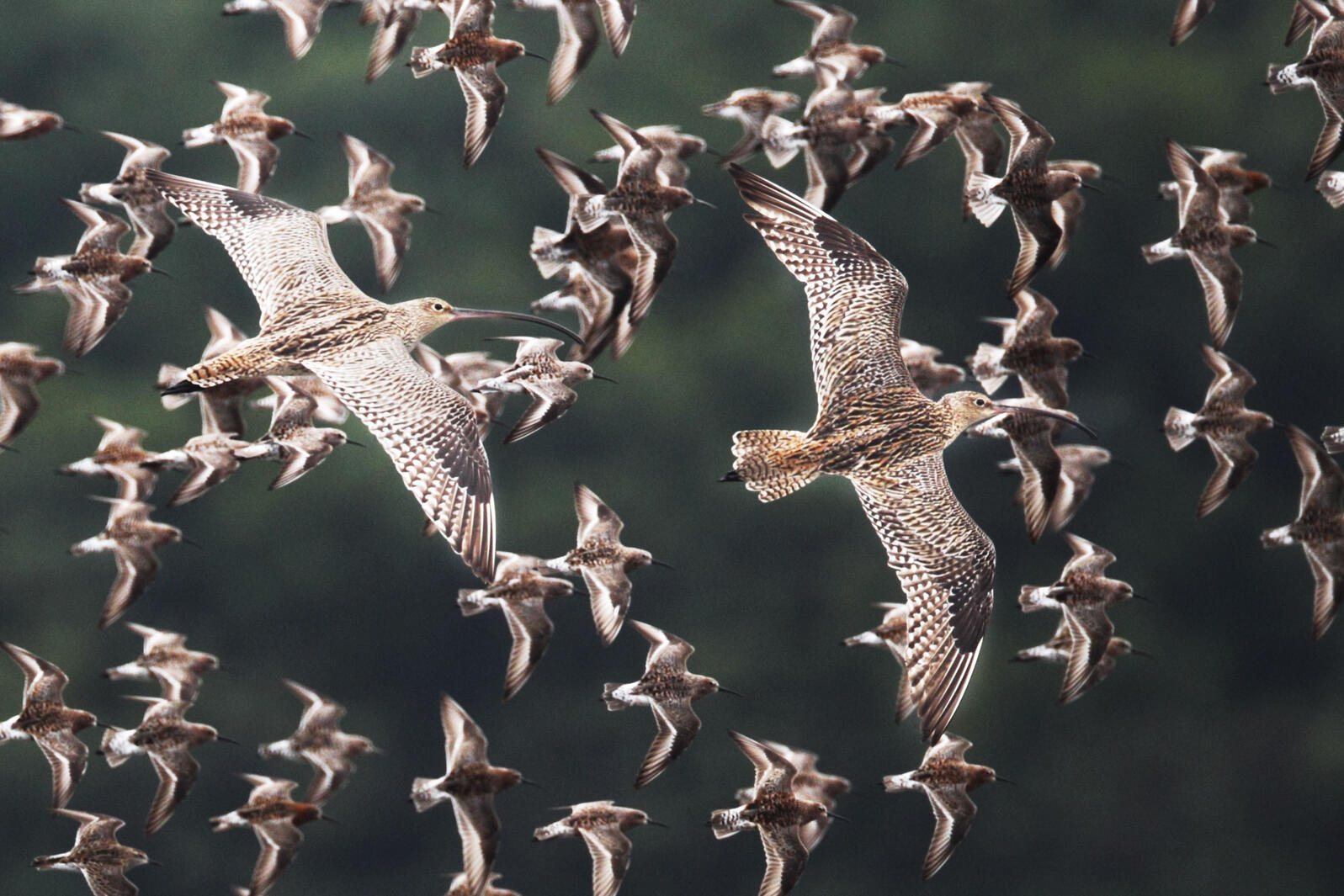 Far Eastern Curlews are just one of many migrating species that don't have adequate protections. FLPA/Alamy