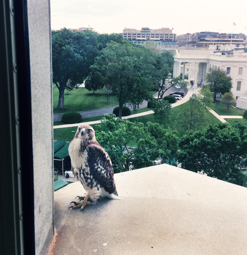 A young Red-Tailed Hawk perches near its new stomping grounds—the White House. DJ Patil