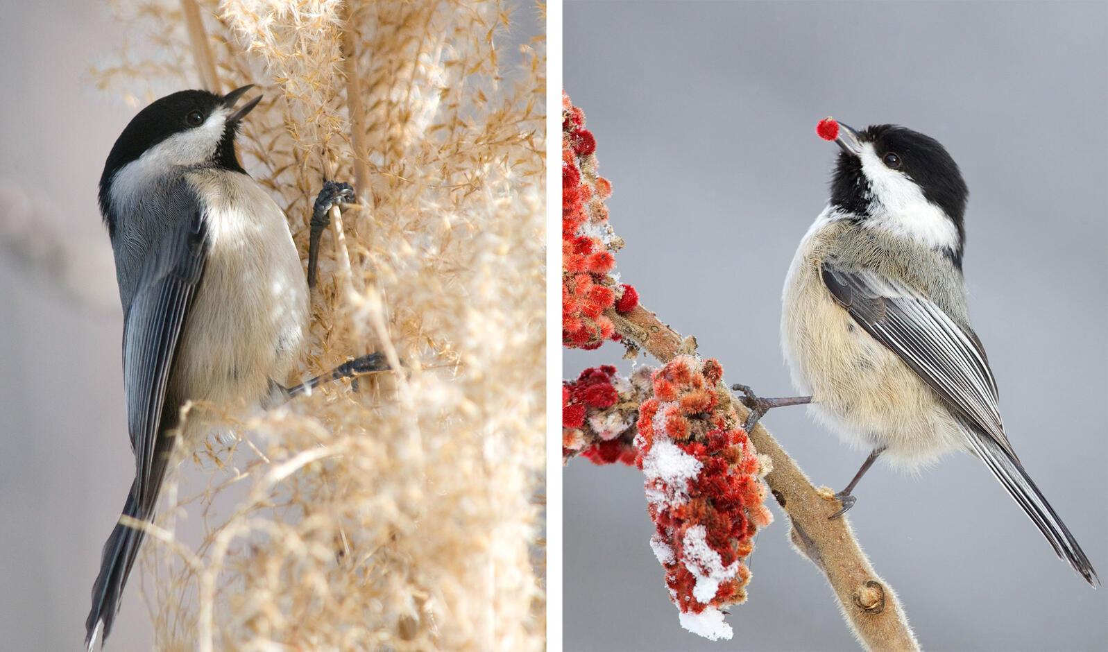 Left: Carolina Chickadee. Photo: Michele Ising Black/Great Backyard Bird Count. Right: Black-capped Chickadee. Photo: Missy Mandel/Great Backyard Bird Count