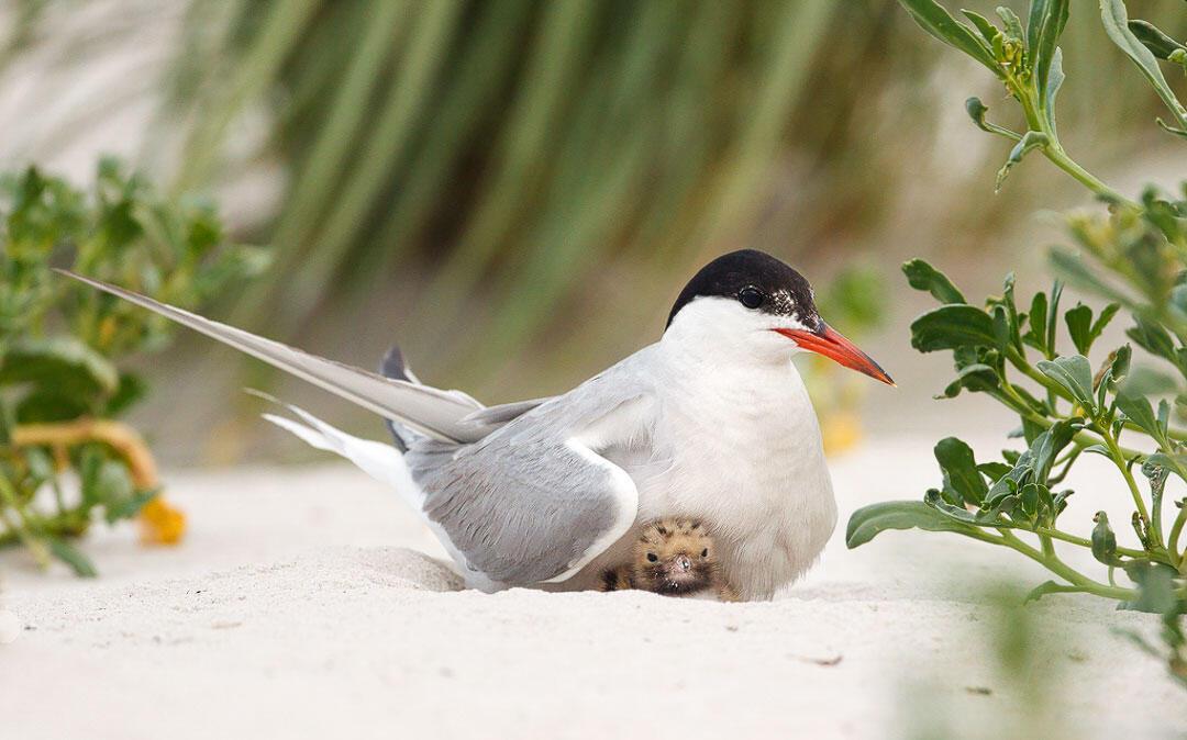 Common Terns. Melissa Groo