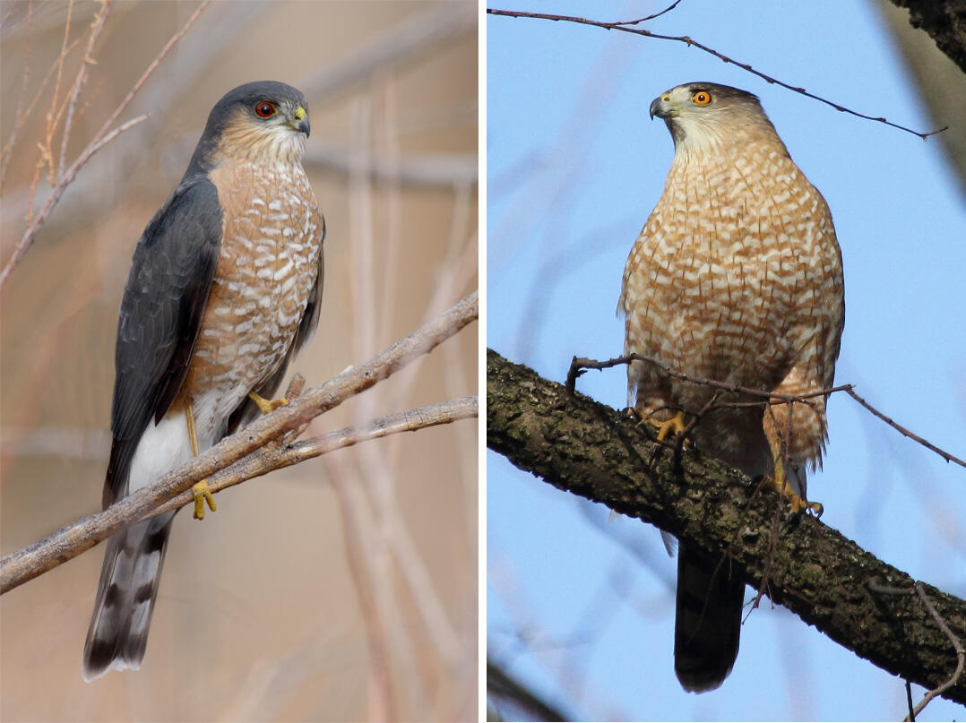 From left: Adult Sharp-shinned Hawk. Photo: Alan Murphy; Adult Cooper's Hawk. Photo: Jeff Bryant/Flickr Creative Commons.