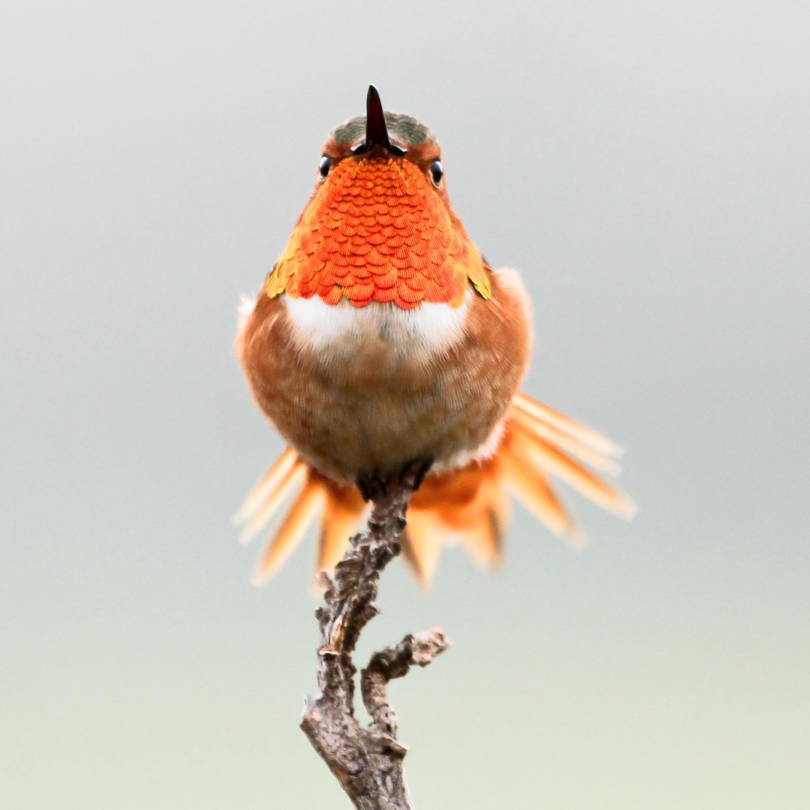 Allen's Hummingbird. Alexander Viduetsky/Audubon Photography Awards