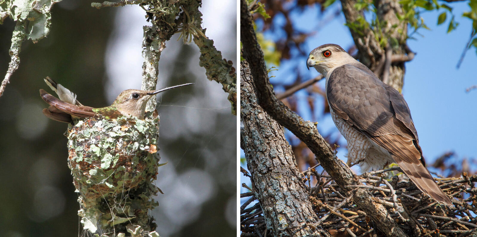 From left, a Black-chinned Hummingbird (photo: Mark Wilson) and a Cooper's Hawk (photo: Marlo Casabar).